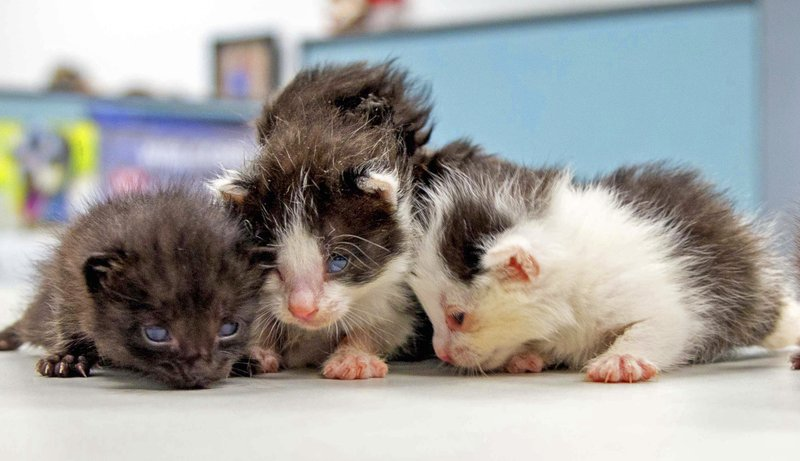 This May, 2019 photo from the San Diego Humane Society shows some of five kittens that had that stowed away on a 400-mile trip to San Diego being cared for at the organization's San Diego office. (San Diego Humane Society via AP)