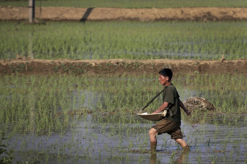 FILE - In this June 13, 2017, file photo, a farmer fertilizes rice seedlings in fields located along a highway in Pyongyang, North Korea. South Korea vowed Monday, May 20, 2019, to move quickly on its plans to provide $8 million worth of humanitarian aid to North Korea while it also considers sending food to the country that says it's suffering its worst drought in decades. (AP Photo/Wong Maye-E, File)