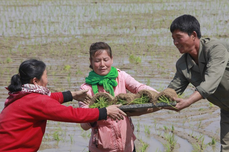 In this May 12, 2019, photo, farmers replant rice seedlings in a field in Chongsan-ri, North Korea. South Korea vowed Monday, May 20, 2019, to move quickly on its plans to provide $8 million worth of humanitarian aid to North Korea while it also considers sending food to the country that says it's suffering its worst drought in decades. (AP Photo/Cha Song Ho, File)
