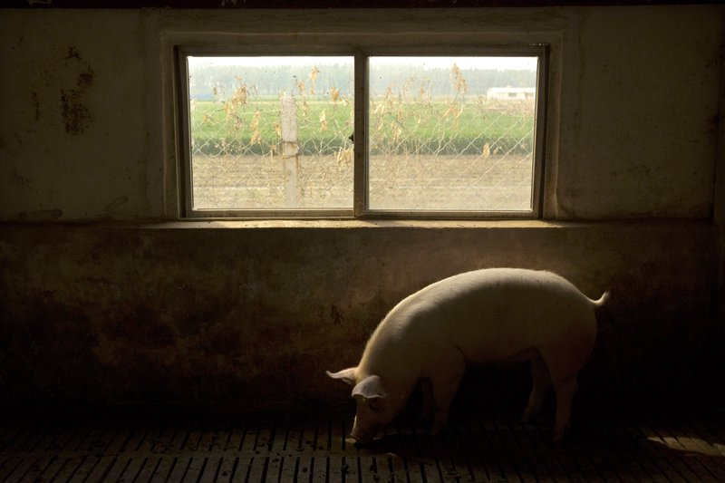 In this May 8, 2019, photo, a pig walks near a window in a barn at a pig farm in Jiangjiaqiao village in northern China's Hebei province. Pork lovers worldwide are wincing at prices that have jumped by up to 40 percent as China's struggle to stamp out African swine fever in its vast pig herds sends shockwaves through global meat markets. (AP Photo/Mark Schiefelbein)