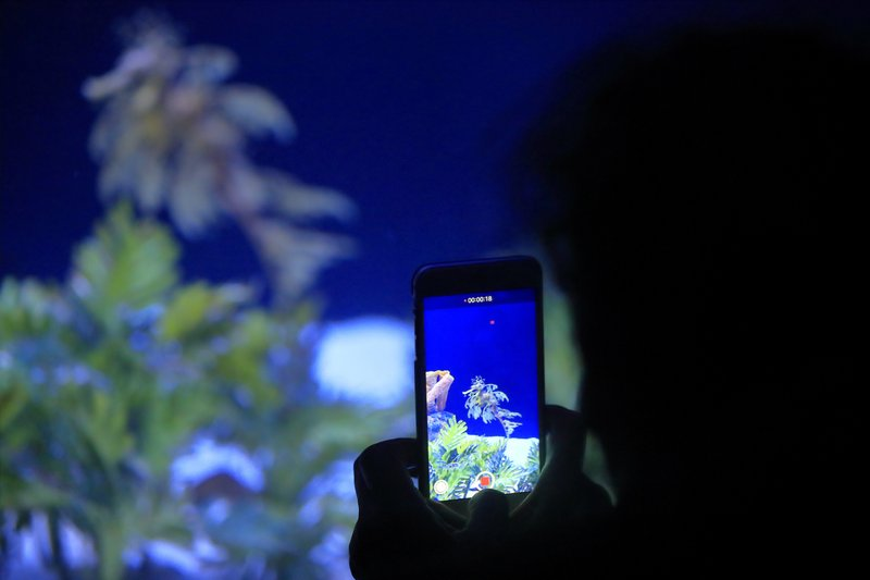 In this Friday, May 17, 2019 photo, a woman records an image of a sea dragon at the Birch Aquarium at the Scripps Institution of Oceanography at the University of California San Diego in San Diego. The Southern California aquarium has built what is believed to be one of the world's largest habitats for the surreal and mythical sea dragons outside Australia, where the native populations are threatened by pollution, warming oceans and the illegal pet and alternative medicine trades. (AP Photo/Gregory Bull)