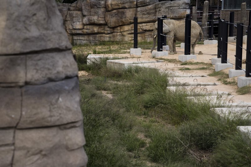 In this Friday, May 10, 2019 photo, an elderly female former circus elephant stands at the edge of her enclosure at the zoo in Barcelona, Spain. Animal rights activists in Barcelona are celebrating a victory after the Spanish city ordered its municipal zoo to restrict the breeding of captive animals unless their young are destined to be reintroduced into the wild. (AP Photo/Renata Brito)