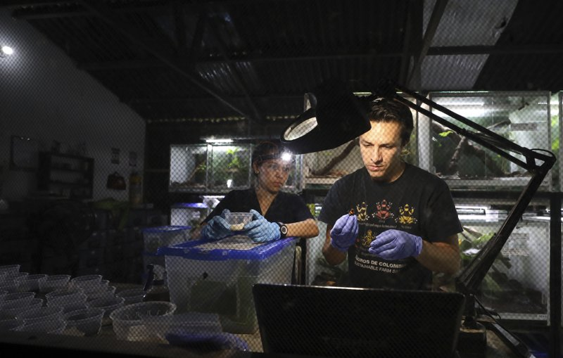"Zoo-technologists Alejandra Curubo, left, and Ivan Ramos pack frogs for export to the U.S. at the ""Tesoros de Colombia"" frog breeding center in Cundinamarca, Colombia, Colombia, Monday, May 20, 2019. Since ""Tesoros de Colombia"" began exporting frogs to the United States six years ago prices for some coveted species have dropped significantly. (AP Photo/Fernando Vergara)"