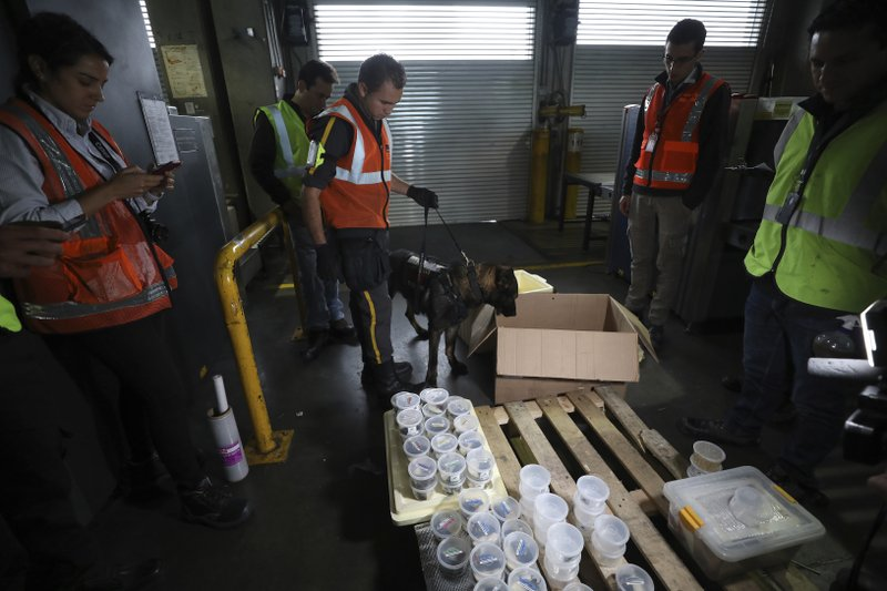 "Customs officials inspect a shipment of frogs reproduced at the ""Tesoros de Colombia"" breeding center before it's export to the U.S. at the international airport in Bogota, Colombia, Tuesday, May 21, 2019. The Humboldt Institute, an environmental research group, says at least 160 amphibian species in Colombia are critically endangered. (AP Photo/Fernando Vergara)"