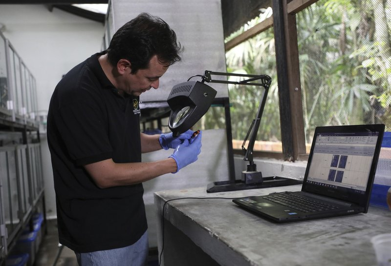 "Colombian conservationist Ivan Lozano's inspects a frog at his ""Tesoros de Colombia"" breeding center in Cundinamarca, Colombia, Tuesday, April 23, 2019. ""We can't control the fact that in some countries it is legal to own these animals,"" Lozano said. ""But we want to make sure that collectors buy animals that are raised in captivity and are legally exported."" (AP Photo/Fernando Vergara)"
