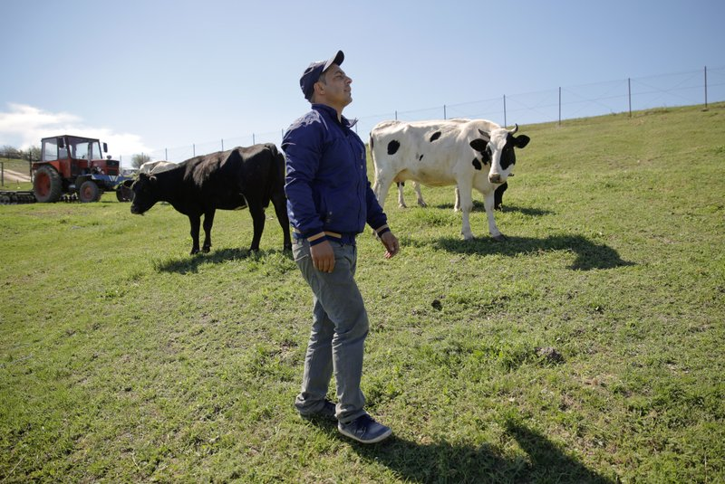 In this picture taken Tuesday, May 21, 2019, Radu Canepa, a local farmer walks next to his cows in Luncavita, Romania. After working for six years in Italy, Canepa, 34, came back to Romania and started a small farm with 30,000 euros ($33,420) in EU funding, buying some land and five cows. (AP Photo/Vadim Ghirda)