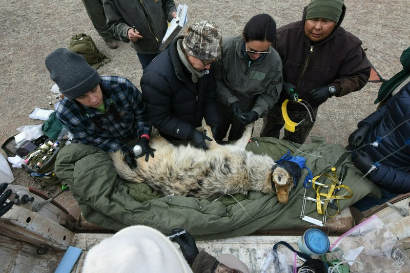 FILE - In this Feb. 13, 2019, photo provided by the U.S. Fish and Wildlife Service, members of the Mexican gray wolf recovery team gathering data from a wolf captured during an annual census near Alpine, Ariz. Mexican gray wolves have been blamed for killing nearly as many cows and calves in the first four months of 2019 as they did all of last year.  Federal wildlife managers have documented 88 livestock kills from January through April in New Mexico and Arizona. Nearly 100 were reported for all of 2018. (Mark Davis/U.S. Fish and Wildlife Service via AP)