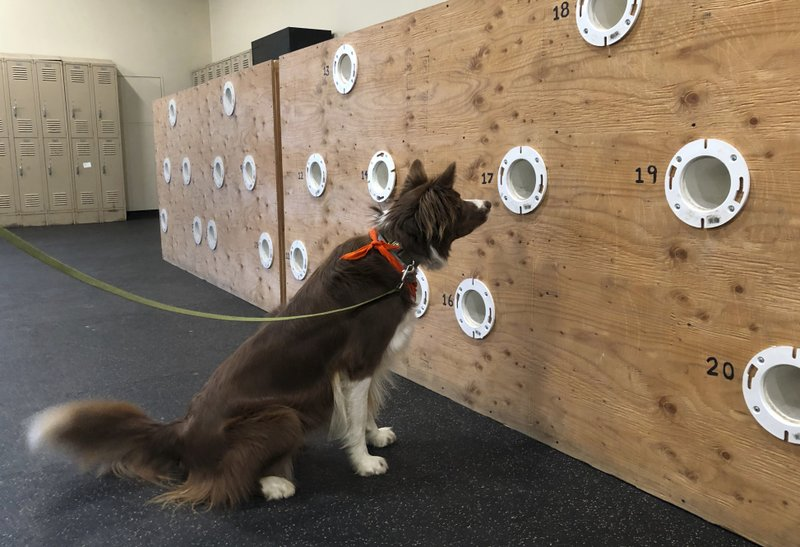 In this May 7, 2019 photo, border collie Finn alerts to a clove oil sample in a scent wall used to train dogs for drug detection and other nose work at the State University of New York, Cobleskill, in Cobleskill, N.Y. The four-year program in