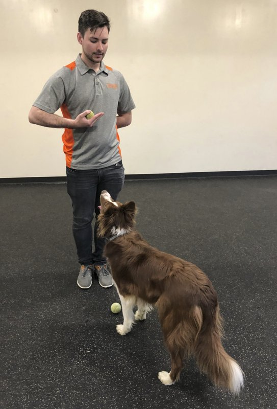 In this May 7, 2019 photo, student trainer Matthew Peterson does some obedience work with border collie Fin at the State University of New York, Cobleskill, in Cobleskill, N.Y. Petersen is majoring in canine training and management at the university with plans to go on to veterinary school. (AP Photo/Mary Esch)