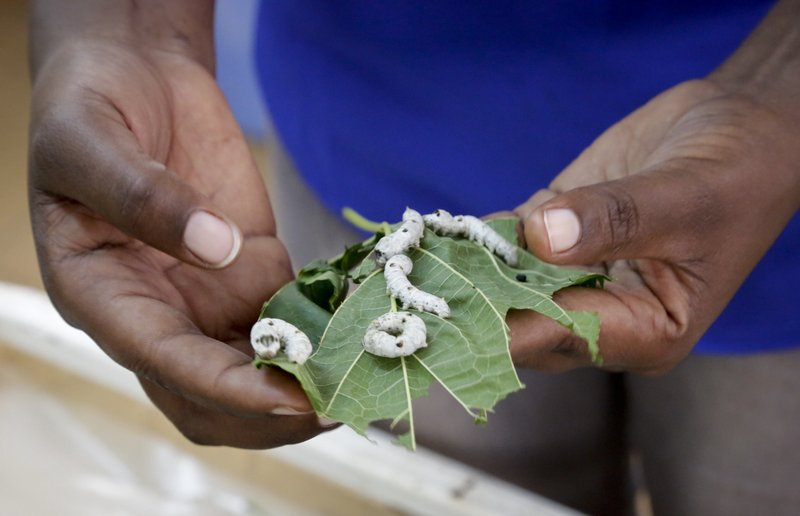 In this photo taken Friday, April 26, 2019, research assistant Catherine Ndumi Musyoka holds mulberry leaves as silkworms feed on them, at the National Sericulture Research Center in Thika, Kenya. A growing number of Kenyan farmers are turning to silk production as they move away from traditional cash crops such as coffee, maize, sugarcane and cotton, with the mulberry trees the silkworms need to survive seen as less affected by a changing climate. (AP Photo/Khalil Senosi)