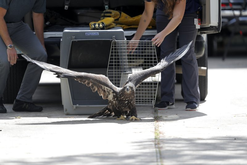 A formerly injured eaglet is released in a suburban New Orleans driveway, near its original nest, in Metairie, La., Tuesday, May 28, 2019. A bald eagle hatched this spring in a New Orleans suburb was released Tuesday in the same neighborhood after two weeks in Louisiana State University's Wildlife Hospital. Dozens of neighbors who have watched over the eagle family cheered as the mottled brown bird hopped out of the cage in which it had traveled from Baton Rouge and launched itself into the air. It sat for several minutes on the roof of a house in the shadow of its nest while a pair of mockingbirds dive-bombed it. Then it flew off. The eaglet had been taken to the LSU veterinary school Wildlife Hospital on May 11. It had been found walking in a nearby street, and barely able to fly. (AP Photo/Gerald Herbert)