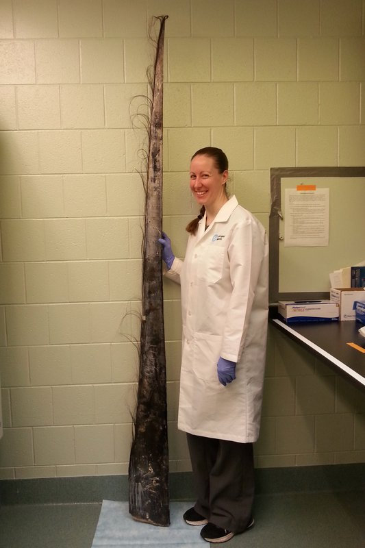 In this undated photo provided by the New England Aquarium in April 2019, scientist Katie Graham stands next to a sample of whale baleen in the Marine Stress Lab at the aquarium in Boston. Graham is among a group of scientists who say they've found a new way to measure the amount of stress felt by giant whales by studying the filtering structures of the giant mammals. (Anita Kim/New England Aquarium via AP)