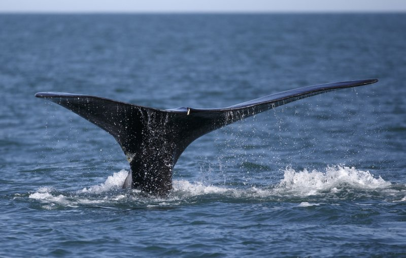 FILE - In this March 28, 2018, file photo, a North Atlantic right whale appears at the surface of Cape Cod bay off the coast of Plymouth, Mass. Whale researchers in New England believe they've found a new way to measure the amount of stress felt by whales when they experience traumas such as entanglements in fishing gear, and they say the technique could help protect the massive sea creatures from extinction. The group published its research online in the journal Marine Mammal Science in March 2019. (AP Photo/Michael Dwyer, File)
