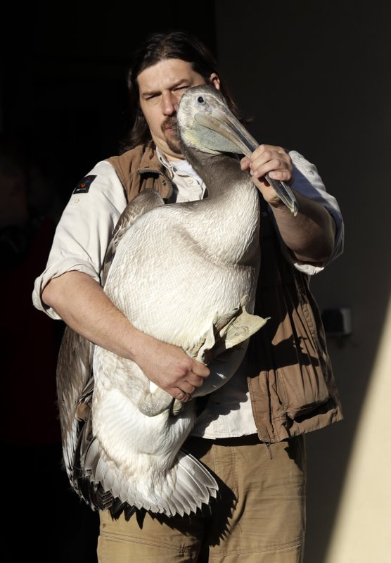 A keeper carries a great white pelican at the Zoo in Prague, Czech Republic, Thursday, May 30, 2019. Three great white pelicans are on the way from Prague to Britain to join a famed flock at that has made London's St.James's Park home since the middle of the 17th century. (AP Photo/Petr David Josek)