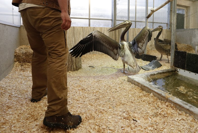 A keeper is about to catch a great white pelican at the Zoo in Prague, Czech Republic, Thursday, May 30, 2019. Three great white pelicans are on the way from Prague to Britain to join a famed flock at that has made London's St.James's Park home since the middle of the 17th century. (AP Photo/Petr David Josek)