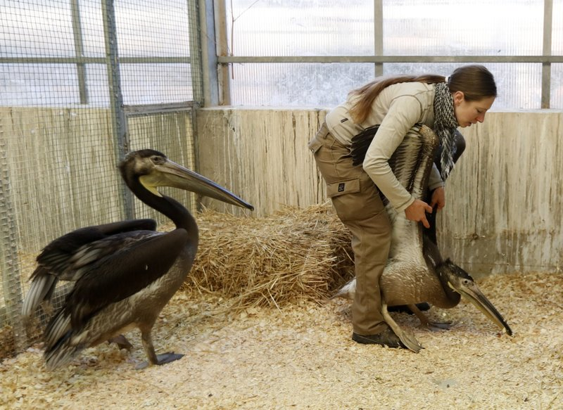 A keeper catches a great white pelican at the Zoo in Prague, Czech Republic, Thursday, May 30, 2019. Three great white pelicans are on the way from Prague to Britain to join a famed flock at that has made London's St.James's Park home since the middle of the 17th century. (AP Photo/Petr David Josek)