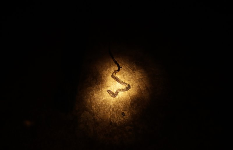 In this photo May 24, 2019 photo, a flashlight beam points to a dead snake in a field near in Bajo Chiquito, Darien province, Panama. The snake had been killed earlier, on the foot path between Bajo Chiquito and the Tuquesa river. (AP Photo/Arnulfo Franco)