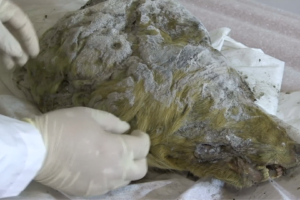 Giant 40,000 years old wolf head found in Siberia