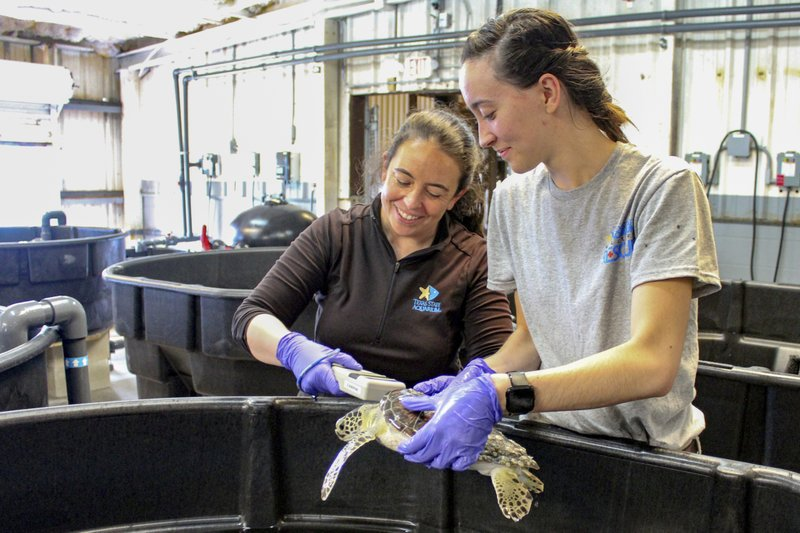 In this May 24, 2019 photo, provided by the Texas State Aquarium, wildlife rescue staff Emma Gilbert, left, and Joleene Zamora care for a sea turtle during rescue and rehabilitation at the Texas State Aquarium Wildlife Rescue Center in Corpus Christi, Texas. Experts say coastal flooding associated with May storms that buffeted other parts of Texas stranded about 100 endangered green sea turtles along the Gulf shore. Jesse Gilbert with the Texas State Aquarium Wildlife Rescue Center said Monday, June 3, 2019, that the young turtles