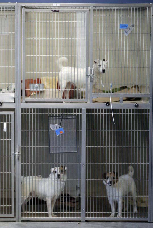 Parson Russell terriers, some of many terriers confiscated from a home in Kingwood, N.J., sits in a kennel at St. Hubert's Animal Welfare Center after being treated, Friday, June 14, 2019, in Madison, N.J. Law enforcement officers and animal welfare groups went to the Kingwood home Tuesday to remove the dogs, which were mostly Russell terriers. Officials said the animals seemed to have had limited human contact and minimal to no veterinary care. No charges have been filed, but officials say they're continuing to investigate. (AP Photo/Julio Cortez)