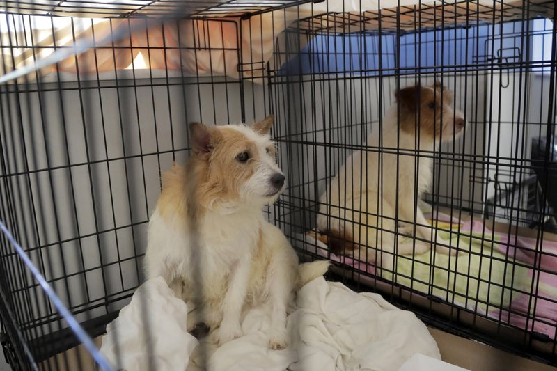 Parson Russell terriers, two of many terriers confiscated from a home in Kingwood, N.J., sit in a kennel at St. Hubert's Animal Welfare Center after being treated, Friday, June 14, 2019, in Madison, N.J. Law enforcement officers and animal welfare groups went to the Kingwood home Tuesday to remove the dogs, which were mostly Russell terriers. Officials said the animals seemed to have had limited human contact and minimal to no veterinary care. No charges have been filed, but officials say they're continuing to investigate. (AP Photo/Julio Cortez)
