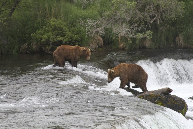 FILE - In this July 4, 2013, file photo, two brown bears look for salmon at Brooks Falls in Katmai National Park and Preserve, Alaska. The National Park Service has completed a project to relieve an Alaska traffic jam. A new elevated bridge and boardwalk across the Brooks River in Katmai National Park and Preserve is expected to halt heart-stopping encounters between human pedestrians and brown bears both using the old bridge. (AP File Photo/Mark Thiessen, File)