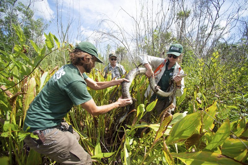 In this Thursday, June 6, 2019 photo,, biological science technician Austin Fitzgerald, left, with the U.S. Geological Survey, biologist Matthew McCollister, with the National Park Service, and biologist Jillian Josimovich, with the U.S. Geological Survey, wrangle a Burmese python named Charlie 5 at Big Cypress National Preserve, Fla. A group of state, federal and private partners have teamed up for several years to conduct research on the invasive species and have ultimately removed hundreds of pythons between them. (Leah Voss/TCPalm.com via AP)
