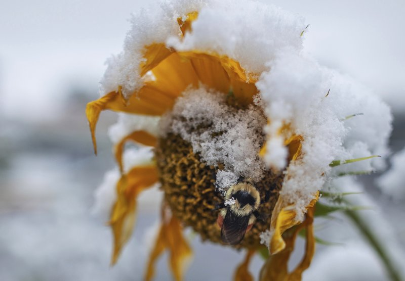 A bumblebee stops on a sunflower in Missoula, Mont., Sunday, Sept. 29, 2019. Morgan got the last of her tomatoes and peppers, hoping they will ripen off the vine at home rather than freeze in the garden. (Sara Diggins/The Missoulian via AP)