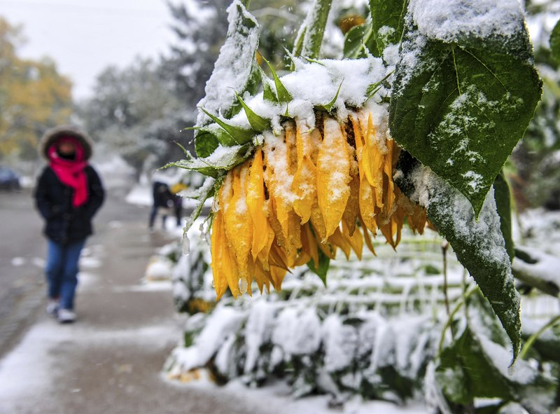 Sunflowers bow and break under the falling wet snow in Great Falls, Mont., Saturday, Sept. 28, 2019. Strong winds and heavy snow caused power outages and temporary road closures in northwestern Montana as a wintry storm threatened to drop several feet of snow in some areas of the northern Rocky Mountains. (Rion Sanders/The Great Falls Tribune via AP)