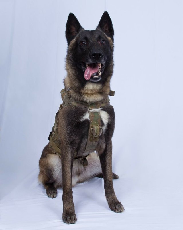 In this photo provided by the White House via the Twitter account of President Donald Trump after it was declassified by Trump, a photo of the military working dog that was injured tracking down Abu Bakr al-Baghdadi in a tunnel beneath his compound in Syria. Joint chiefs Chairman Gen. Mark Milley told reporters Monday that the animal