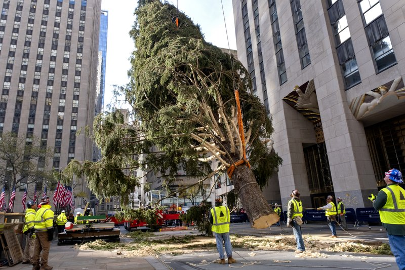 The 2019 Rockefeller Center Christmas tree, a 77-foot tall, 12-ton Norway Spruce, lifted and prepared before being set on a platform at Rockefeller Center Saturday, Nov. 9, 2019, in New York. The tree lighting ceremony will take place on Wednesday, Dec. 4.  (AP Photo/Craig Ruttle)