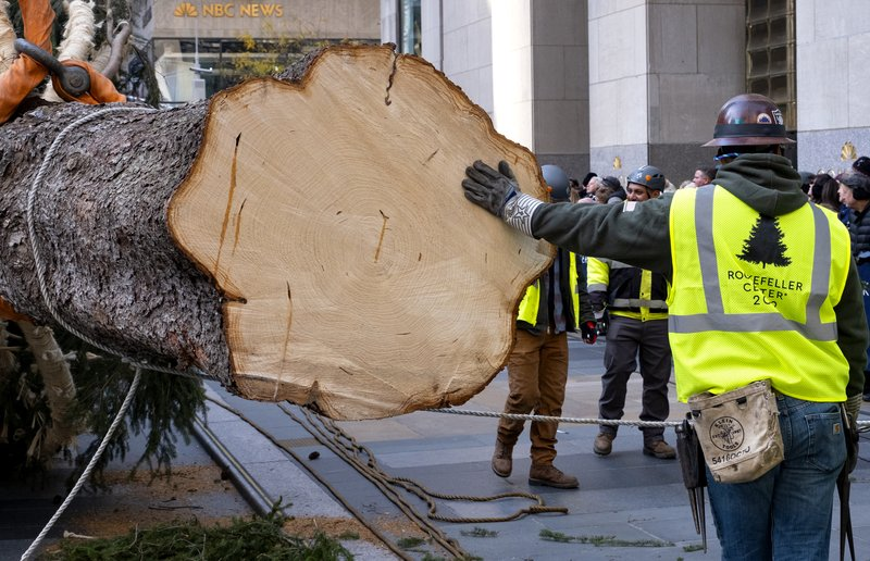 The freshly cut bottom of the 2019 Rockefeller Center Christmas tree, a 77-foot tall, 12-ton Norway Spruce, is seen as the tree is prepared for lifting into place at Rockefeller Center Saturday, Nov. 9, 2019, in New York. The tree lighting ceremony will take place on Wednesday, Dec. 4. (AP Photo/Craig Ruttle)