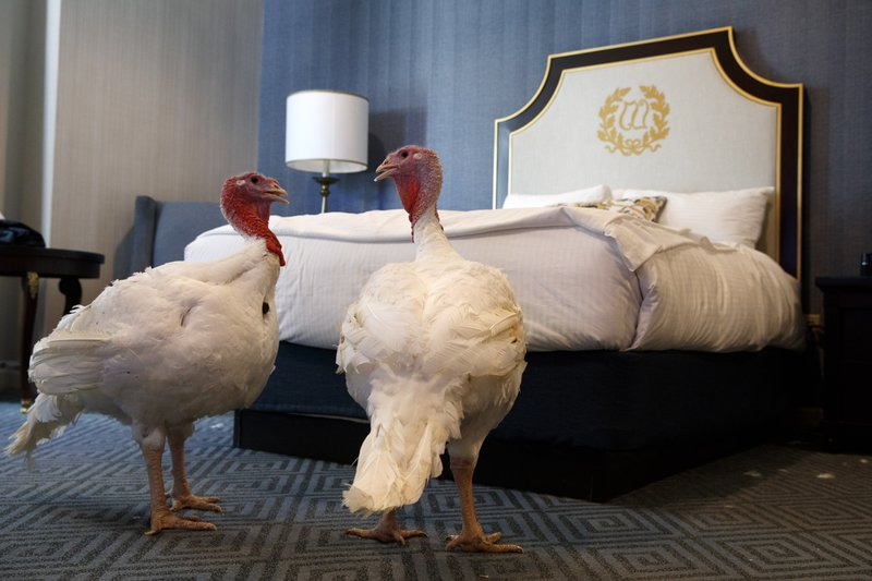 Bread and Butter, two turkeys from North Carolina that will be pardoned by President Donald Trump, hang out in their hotel room at the Willard InterContinental Hotel, Monday, Nov. 25, 2019, in Washington. The turkeys will be pardoned by the president during a ceremony at the White House ahead of Thanksgiving. (AP Photo/Jacquelyn Martin)