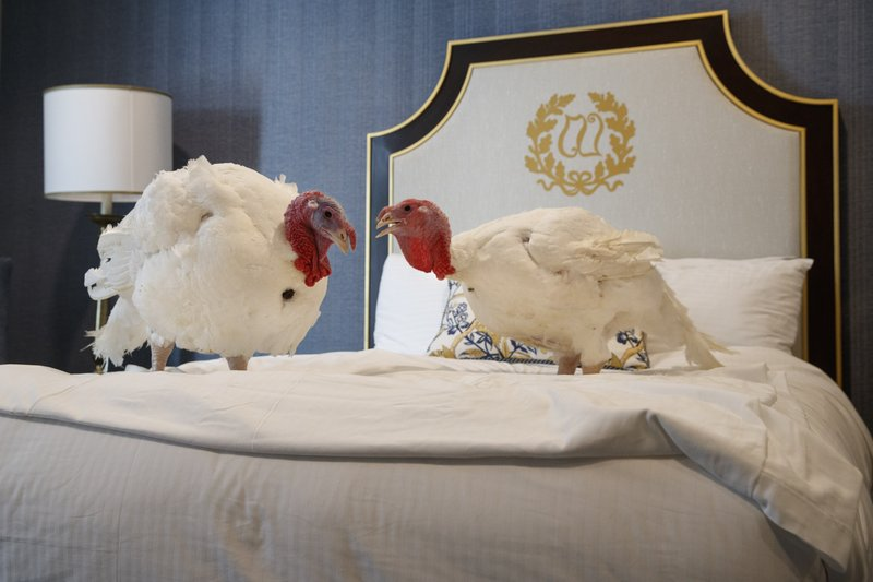 Two male turkeys from North Carolina named Bread and Butter, that will be pardoned by President Donald Trump, hang out in their hotel room at the Willard InterContinental Hotel, Monday, Nov. 25, 2019, in Washington. The turkeys will be pardoned by the president during a ceremony at the White House ahead of Thanksgiving. (AP Photo/Jacquelyn Martin)