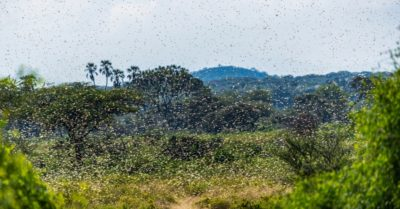 Swarms of locusts devour food supplies in Africa, a 'a scourge of biblical proportions'