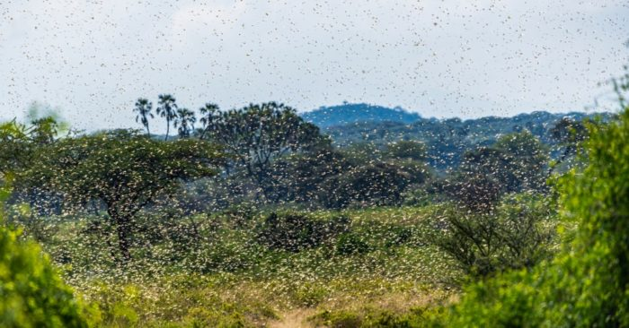 Giant locust plague devastates crops in Africa and threatens Saudi Arabia and Yemen