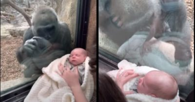 Female gorilla shows motherly instinct when presented with a human baby at zoo
