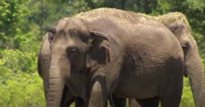Circus elephants find their retirement in spacious wildlife sanctuary