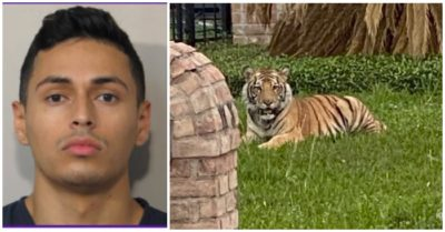 Pet tiger escapes suburban home and Texan handler charged with evading arrest