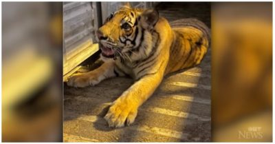 Missing Houston tiger found safe after nearly a week and moved to wildlife sanctuary