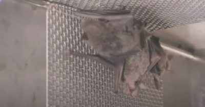 The Wuhan lab cover-up is falling apart with undeniable footage of bats in the Wuhan lab
