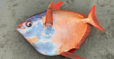Gigantic 100-pound tropical fish washes up at Oregon beach
