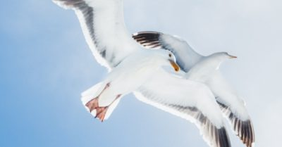 Seagull finds a mate after bonding with captain for 15 years