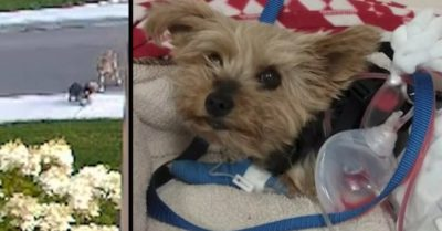 Video: Yorkie assaulted by a coyote, fights back to defend her 10-year-old owner