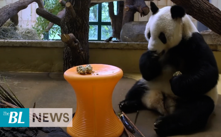 New panda makes debut at Vienna Zoo